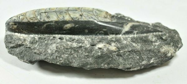 GENUINE POLISHED ORTHOCERAS FOSSIL IN LIMESTONE PLAQUE 13 x 6.8 cm 319 gms